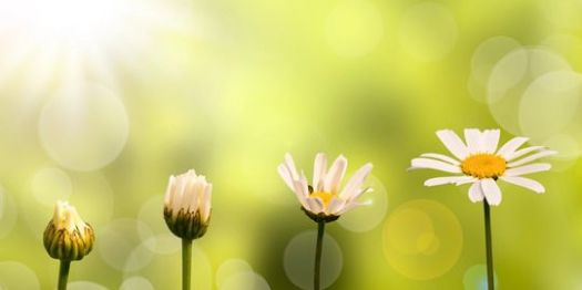 photo: daisies opening to the sun